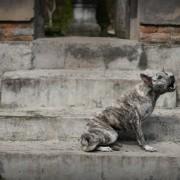 pies z Ubudu
