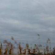 żurawie w trzcinach