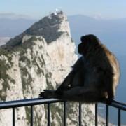 małpa gibraltarska