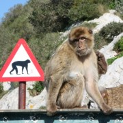 inna małpa gibraltarska, bo taka słodka